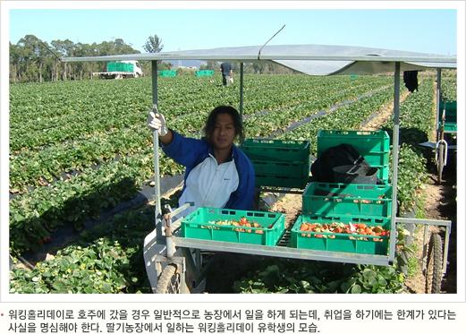 워킹홀리데이로 호주에 갔을 경우 일반적으로 농장에서 일을 하게 되는데, 취업을 하기에는 한계가 있다는 사실을 명심해야 한다. 딸기농장에서 일하는 워킹홀리데이 유학생의 모습.